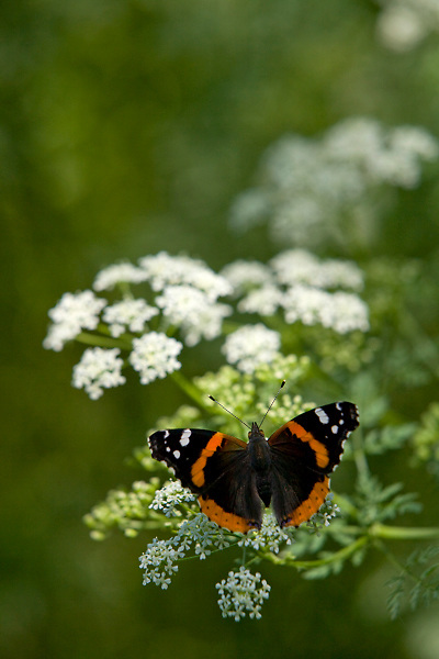 Stock photo of a black and red butterfly sitting on foliage in the Texas Hill Country