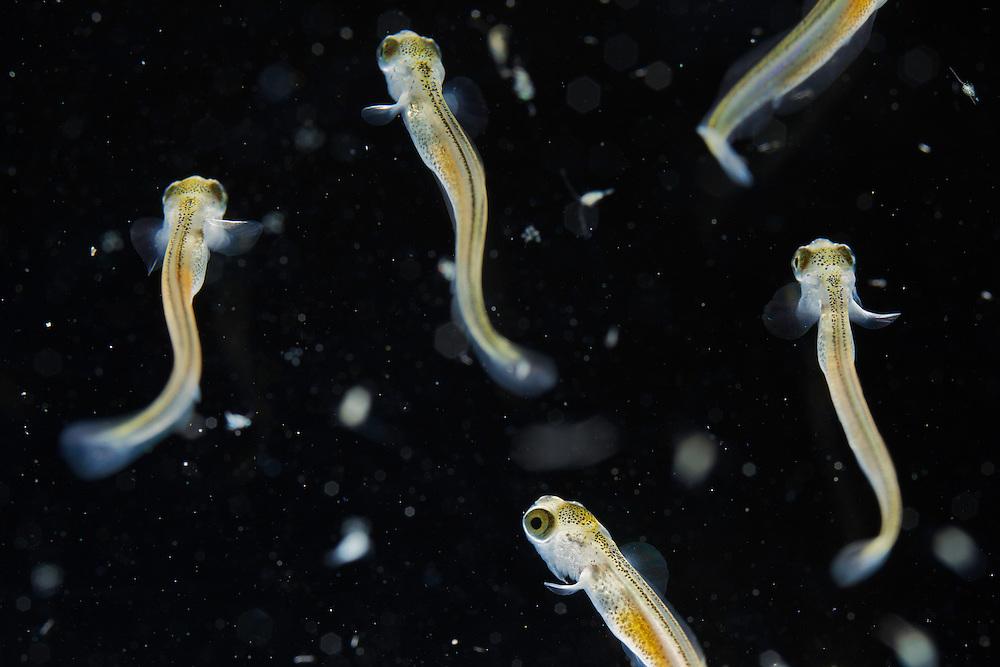 Grayling (Thymallus thymallus) <br /> Alevin, 13 days old, feeding on zooplankton, from Lake of Thoune, Thoune, Switzerland, studio shot<br /> &Auml;sche (Thymallus thymallus)<br /> Larve, Zooplankton jagend, vor 13 Tagen geschl&uuml;pft, von Thunersee, Thun, Schweiz, in Studio<br /> Ombre (Thymallus thymallus)<br /> Alevin de 13 jours, &agrave; la chasse de zooplacton, du Lac de Thoune, Thoune, Suisse, en studio<br /> 17-04-2009<br /> CAPTIVE