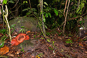 Giant flower of the parasitic Rafflesia tuan-mudae on the forest floor of Gundung Gading National Park, Sarawak, Borneo.  The flower is about 50 cm in diameter on its third day in late March 2018. The plant parasites vines from the genus Tetrastigma, which can be seen in the photo.