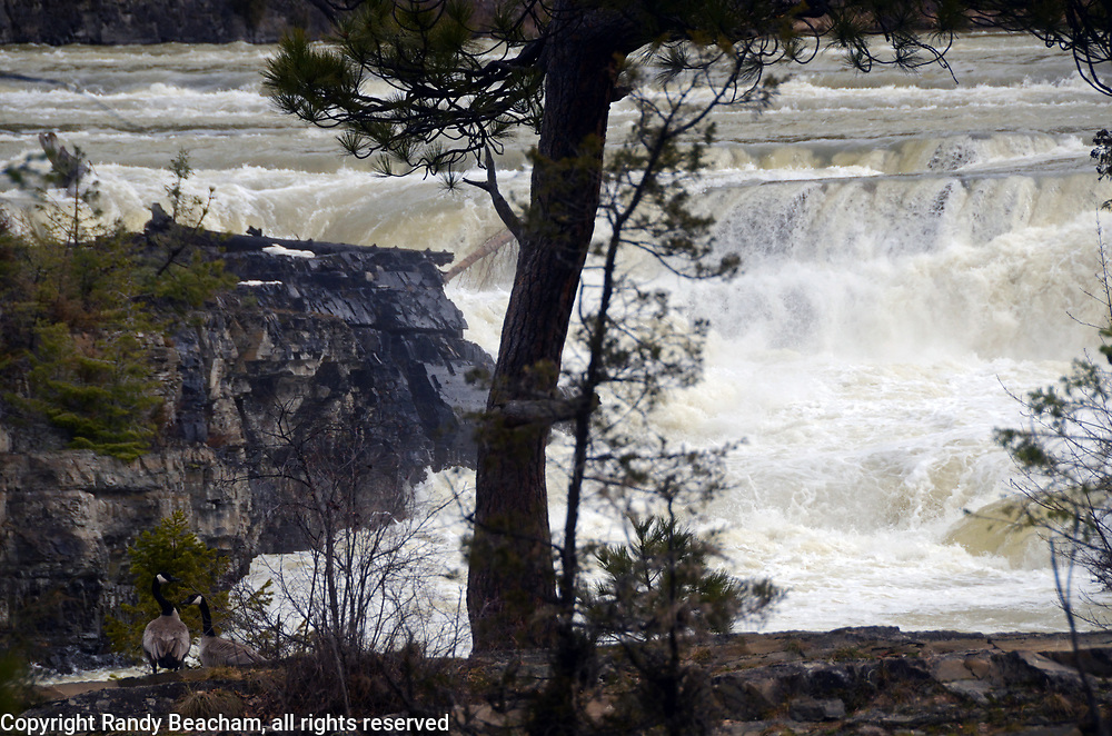 A pair of Canada geese overlooking Kootenai Falls on the Kootenai River after rain and snow event in late winter 2017. Kootenai River Valley in Lincoln County, northwest Montana.