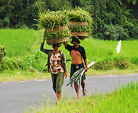 Farmers carrying grass from the fields in baskets on their heads. Bali, Indonesia.