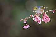 The silvereye was first noticed in New Zealand in the 1830's.  It has since become one of our most familiar native birds.