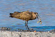 An hamerkop, Scopus umbretta, feeding on a frog.