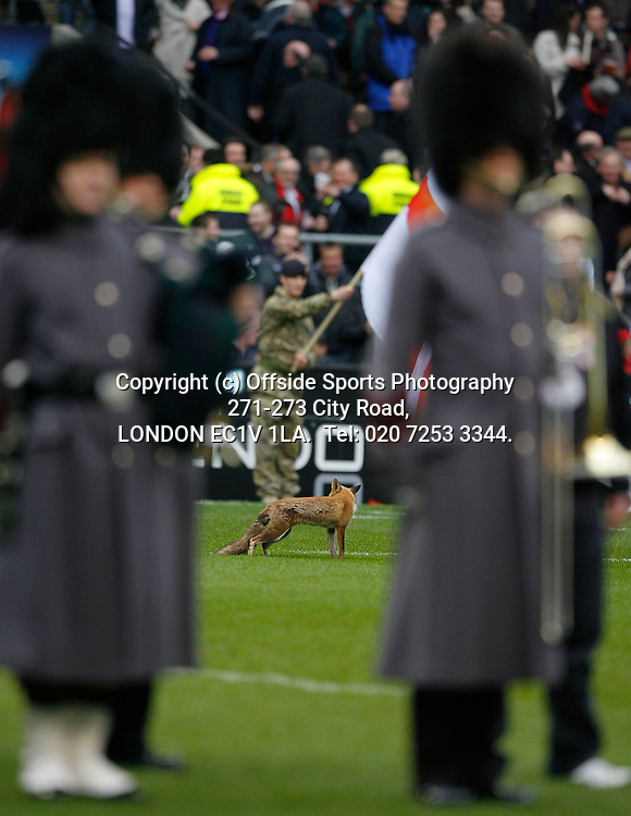 13/03/2011 6 Nations Rugby. England v Scotland<br /> A fox on the pitch during the national anthems.<br /> Photo: Mark Leech.
