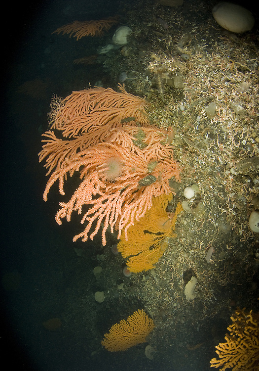 Red tree coral (Primnoa resedaeformis) and Sea Fan (Paramuricea placomus). Location : Trondheimsfjorden, Norway