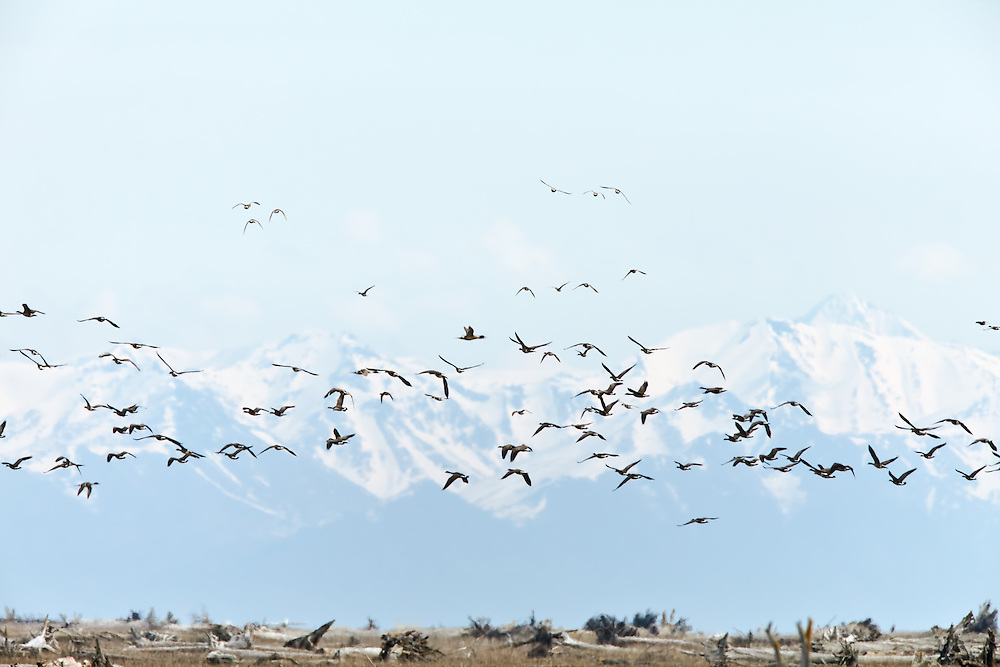 A flock of Canada Geese (Branta canadensis) with the Chugach Mountains in the background getting ready to land for a day of foraging on Susitna Flats State Game Refuge near Beluga  in Southcentral Alaska during the spring migration. Afternoon.