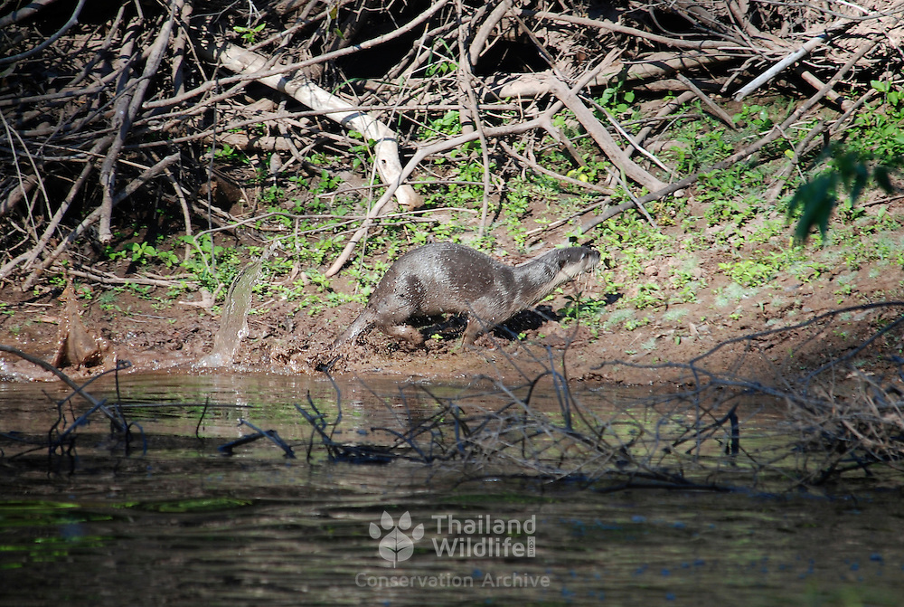 Wild Smooth-coated Otter, Lutra perspicillata, in Khao Yai National Park, Thailand.