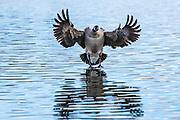 Canada Goose (Branta canadensis) Landing-Sequence #1