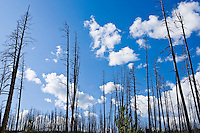 Scorched trees and new growth after a forest fire in Yellowstone National Park, Wyoming, USA.