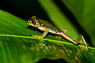 A Red-eyed Tree Frog (Agalychnis callidryas) male climbing a Heliconia, looking for a good vantage point to attract a mate, Bocas del Toro, Panama