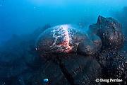 erupting pillow lava at ocean entry of Kilauea Volcano,<br /> Hawaii Island ( the Big Island ), Hawaii, U.S.A. ( Central Pacific Ocean )