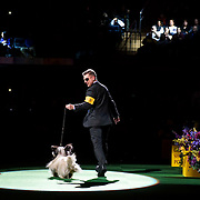 February 16, 2016 - New York, NY : The Skye Terrier enters the arena for Best of Show judging during the 140th Annual Westminster Kennel Club Dog Show at Madison Square Garden in Manhattan on Tuesday evening, February 16, 2016. CREDIT: Karsten Moran for The New York Times