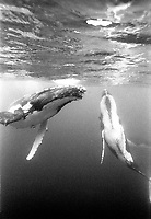 Male Humpback Whales compete for a female...Shot in Kingdom of Tonga