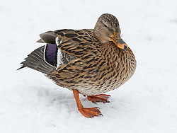 © Licensed to London News Pictures . 21/01/2013 . Manchester , UK . A chilly duck in the snow in Lightoaks Park , Salford . Snowy scenes in Salford , Greater Manchester today (21st January 2013) . Photo credit : Joel Goodman/LNP
