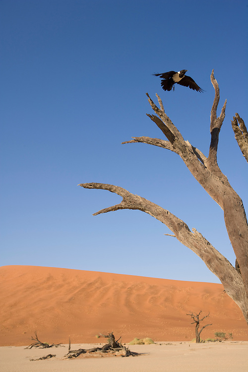 Africa, Namibia, Namib Naukluft National Park, Pied Crow (Corvus albus) flying toward desiccated acacia tree at Dead Vlei in Namib Desert near Sossusvlei