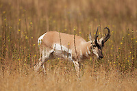 In Utah surrounded by the Great Salt Lake Antelope Island shelters an abundance of wildlife one of them is its namesake the Antelope.