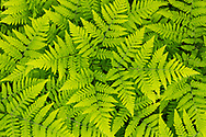 Closeup of intertwined fern leaves in Chugach National Forest in Southcentral Alaska. Spring. Afternoon.