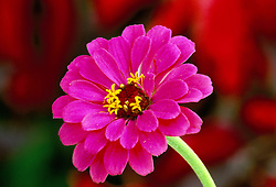 Zinnia 'Scabious flowered'