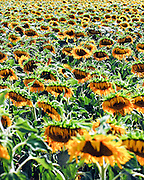 Israel, Field of yellow sunflowers