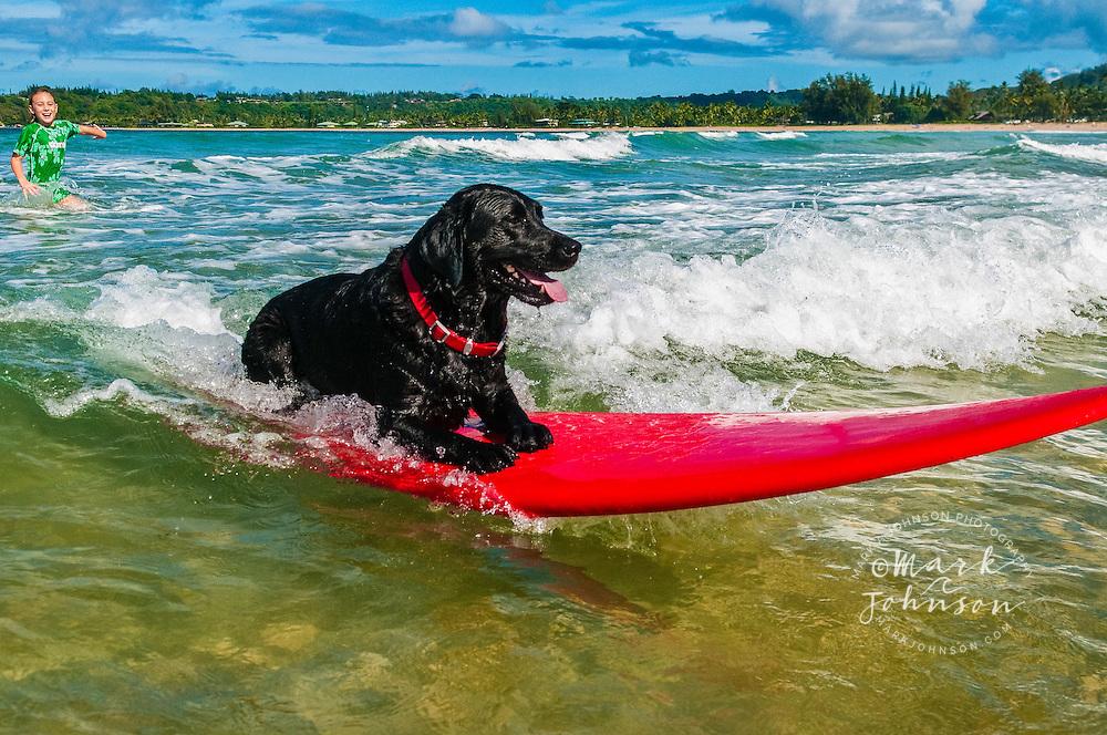 Black labrador dog surfing at Hanalei Bay, Kauai, Hawaii