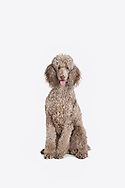 Standard poodle sitting on a white background looking at the camera with her mouth open