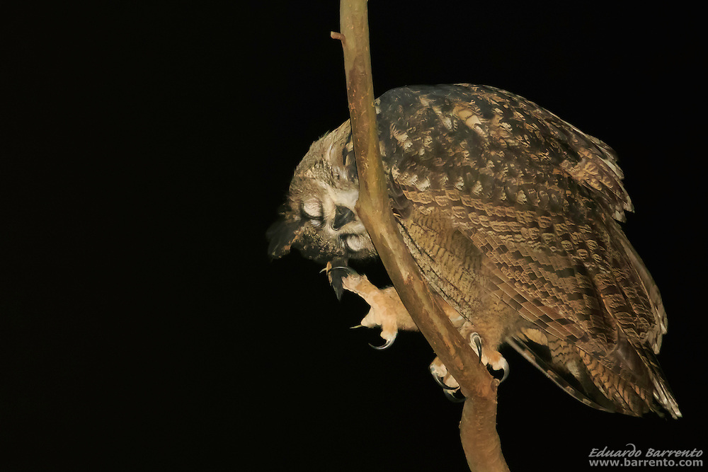 Bufo-real, The Eurasian eagle-owl (Bubo bubo) the biggest owl of Europe. Alcobaça, Portugal.
