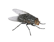 Common House-fly - Musca domestica