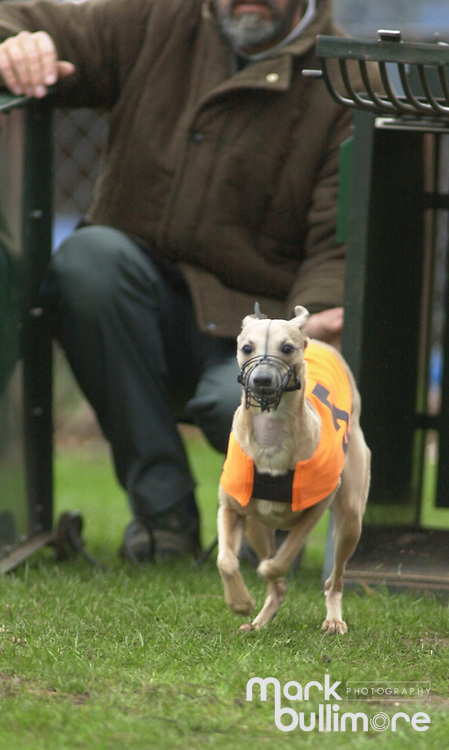 Whippet Racing in Newmarket, Suffolk