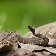 Common Mock Viper (psammodynastes pulverulentus) in Kaeng Krachan national park, Thailand