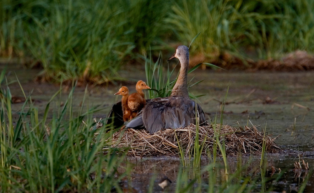 A Sandhill Crane with two chicks sits on her nest just after sunset.  Cranes nest in wetlands to have warning from predators.  Photo by Tom Lynn