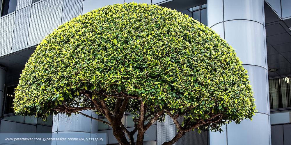 Beautifully maintained tree in public space, Naha, Okinawa, Japan.