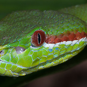 Pope's Pit Viper (Trimeresurus popeiorum) male in Doi Luang national park, Thailand