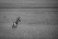 American Pronghorn