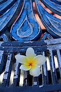 FRANGIPANGI, Plumeria is related to the Oleander. Plumeria flowers are most fragrant at night. Wohlriechende Blüten, weit verbreitet in Griechenland und Asien. © romano p. riedo   fotopunkt.ch