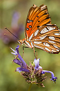 Gulf Fritillary sipping nectar from a Cleveland sage, California.