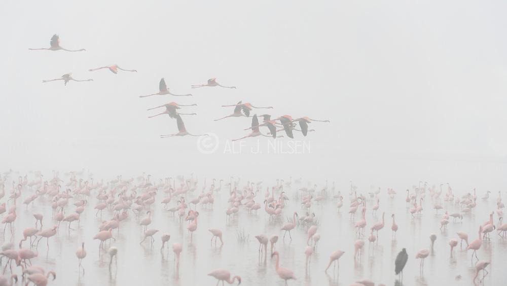 Lesser Flamingos (Phoeniconaias minor) at Lake Nakuru, Kenya, one foggy morning.