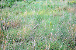 Grasses and Pitcher Plant at Green Swamp, Brunswick, North Carolina