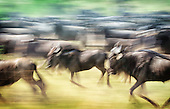 Wildebeest and Cape Buffalo