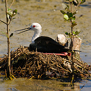 Black-winged Stilt, Himantopus himantopus, sitting on the nest