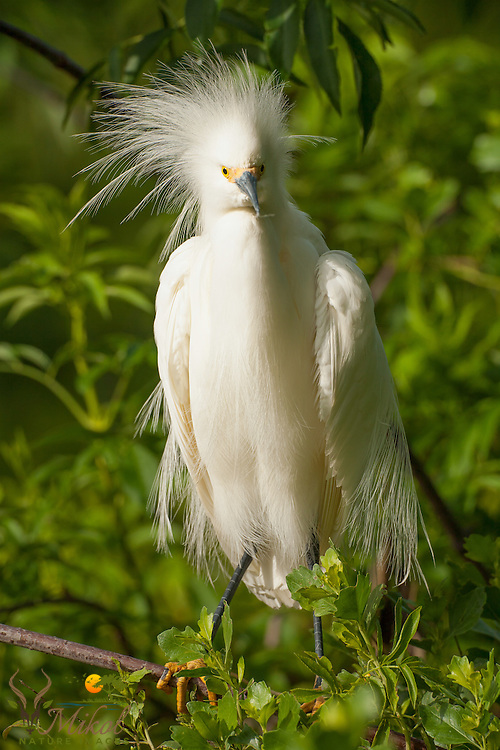 Snowy Egret Sidelit