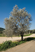 Israel Galilee Olive tree