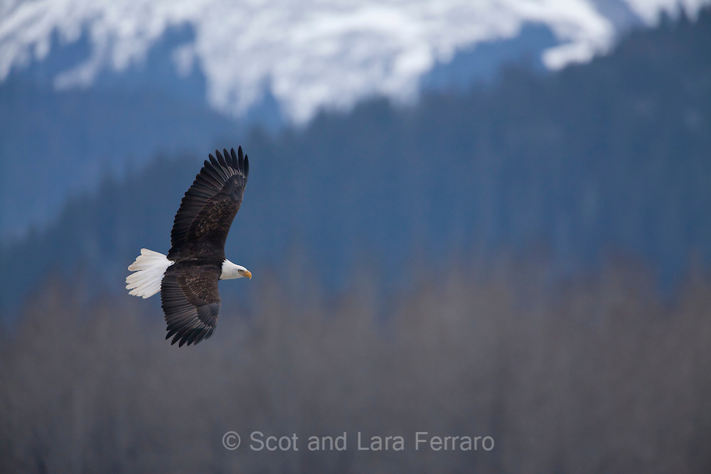 An American Bald Eagle soars over the Chilkat Bald Eagle PreseAn American Bald Eagle soars over the Chilkat Bald Eagle Persevere in Haines, Alaska.