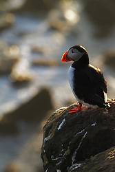 A puffin is staring out over the ocean at sunset at the most western tip of Iceland.