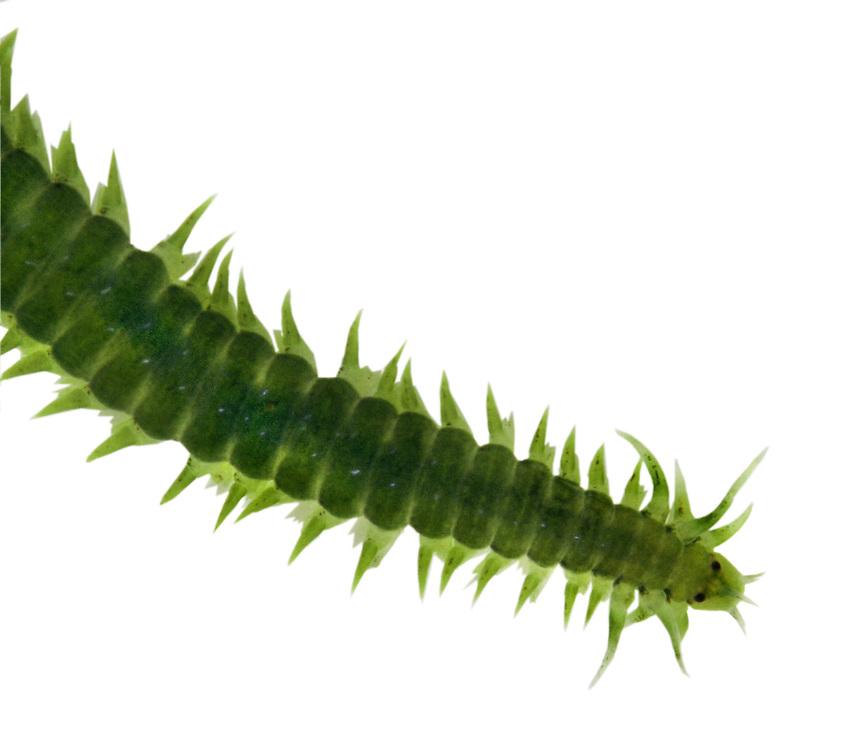 green leaf worm<br /> Eulalia viridis