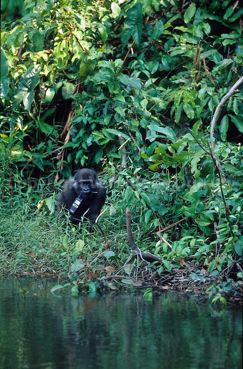 Ce bebe gorille qui vit en semi-liberte dans le centre de rehabilitation d'Iboukibro a profite d'un moment d'inattention d'un responsable du parc pour lui voler sa radio!.This baby gorilla, living in the rehabilitation Center of Iboukibro has stolen the Talkie walkie of a responsible of the association!