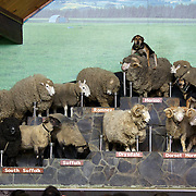 A sheep dog sits on a sheeps back as different breeds of sheep are displayed during the sheep show at Agrodome, Rotorua. The Agrodome offers visitors the experience of seeing through the eyes of a New Zealand farmer. Situated just north of Rotorua city on a scenic 160 hectare sheep and beef farm, Agrodome gives visitors an educational and hands-on experience..  Agrodome includes a Sheep Show featuring 19 breeds of sheep, sheep shearing, cow milking, lamb feeding and dog demonstrations. .The Organic Farm Tour gives visitors a hands-on experience with a variety of farm animals. Rotorua, New Zealand,. 10th December 2010 Photo Tim Clayton.