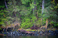 Asleep in the Great Bear Rainforest are Mama Grizzly and 2 year old cubs, landscape