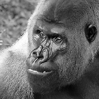 """Black and white head portrait of Baraka, a male """"silverback"""" western lowland gorilla (Gorilla gorilla), that is the leader of the gorilla group at the National Zoo, Washington, D.C."""