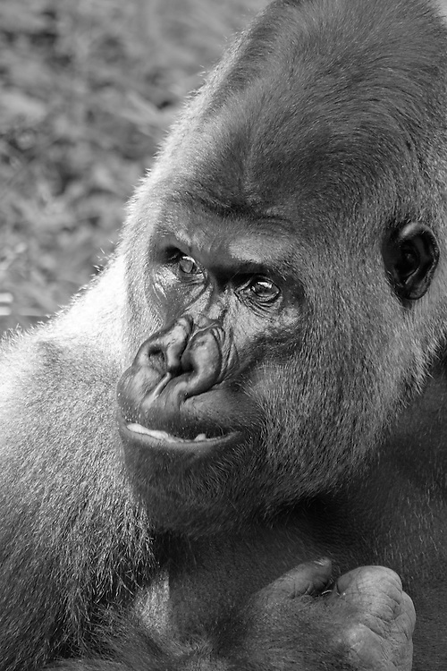 "Black and white head portrait of Baraka, a male ""silverback"" western lowland gorilla (Gorilla gorilla), that is the leader of the gorilla group at the National Zoo, Washington, D.C."