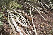 Pile of cut silver birch trees cut down as part of heathland management, Sutton Heath, Suffolk, England